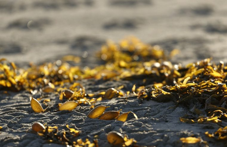 Seaweed Energy: Food or Fuel?