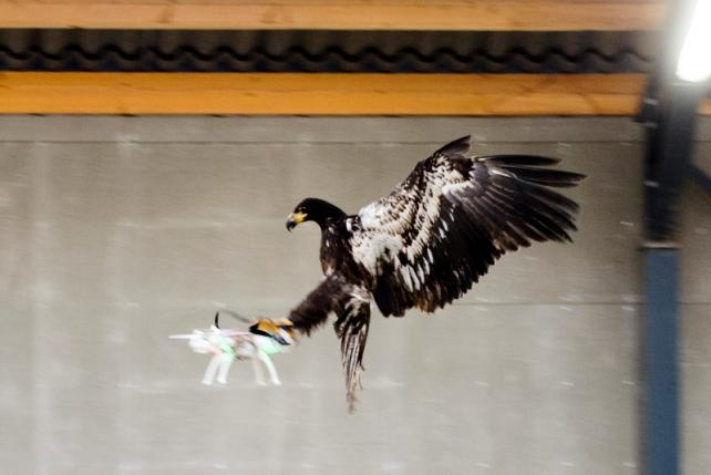 Eagles. Dutch Eagles.
