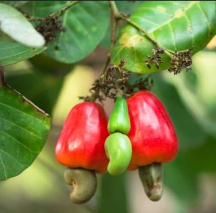 Nut Zoom: Cashews