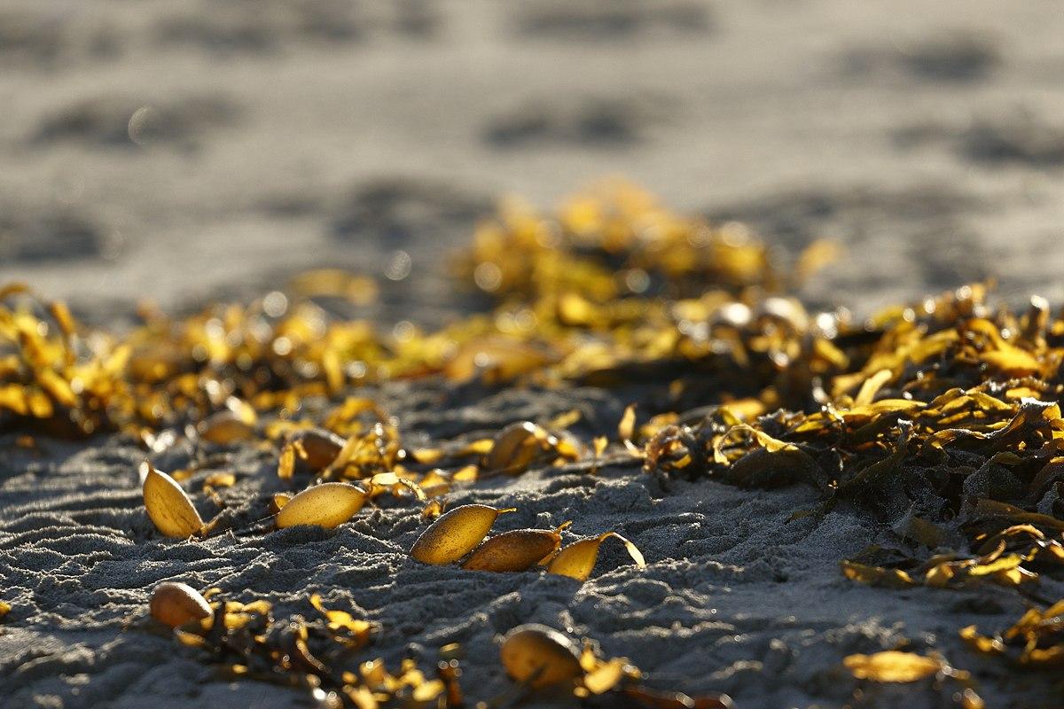 Seaweed Energy: Food or Fuel?