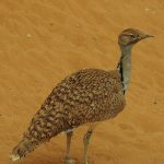 The Curious Tale of the Houbara: Birds and Middle Eastern power politics